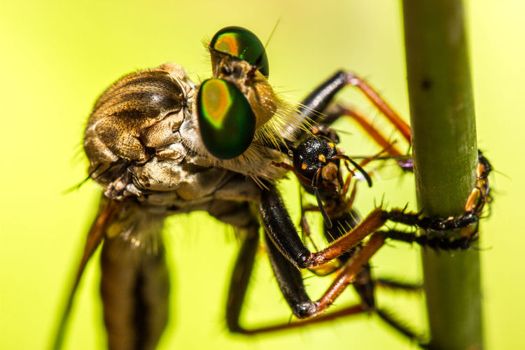 Fly eating. Animal Animaleating Eating Fly Focus On Foreground Focused Green Insect Insect Macro  Insect Photo Insect Photography Insects  Macro Macro Nature Macro Photography Nature Photography Naturelovers Naturephotography EyeEm Best Shots