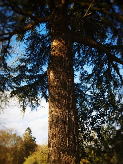 Tree Tree Trunk Growth Nature Low Angle View Day No People Forest Outdoors Tranquility Beauty In Nature Branch Sky Close-up