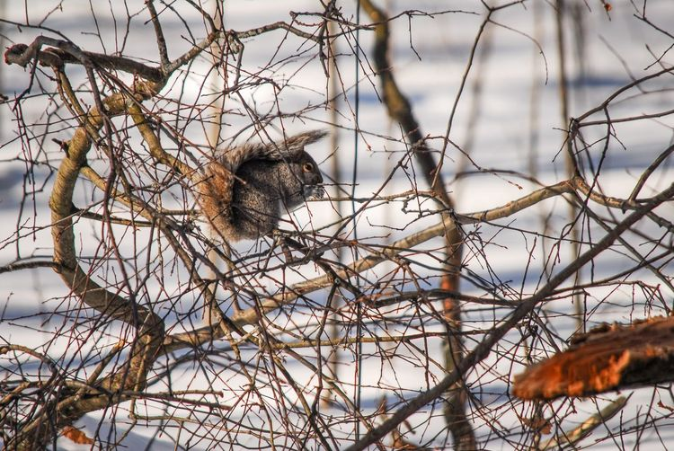 Squirrel views Animal Animal Themes Animal Wildlife One Animal Animals In The Wild Vertebrate Branch Tree No People Cold Temperature Nature Winter Bare Tree Day Snow Plant Mammal Bird Focus On Foreground Outdoors