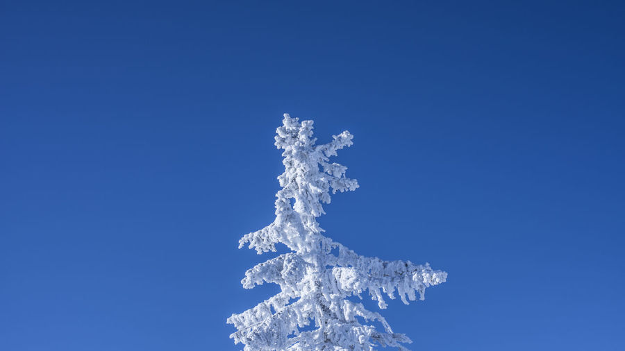 Marcweberde Blue Sky Cold Temperature Winter Snow Nature Copy Space Beauty In Nature Day Clear Sky White Color No People Frozen Low Angle View Scenics - Nature Tranquility Outdoors Tranquil Scene Fir Tree Blue Background