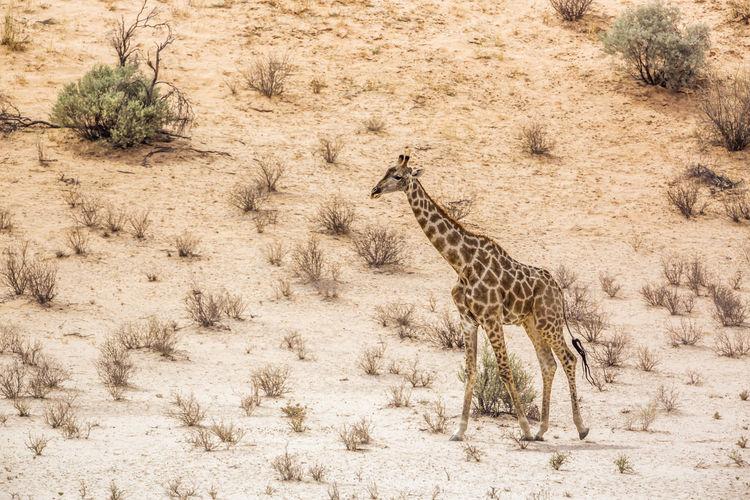 Giraffe walking in a field