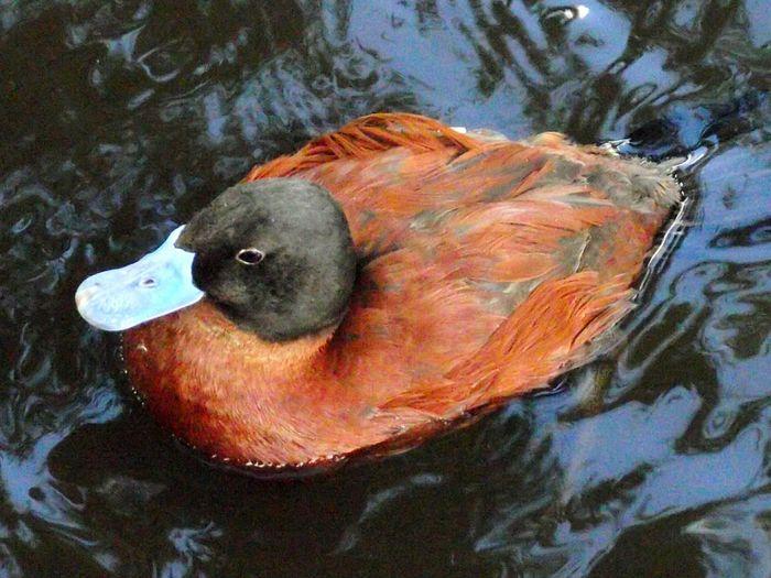 Birds Of EyeEm  EyeEm Nature Lover Birdwatching Birds_collection Walking Around Martin Mere Duck Photography Duck In A Pond Duck Duck Blue Bill