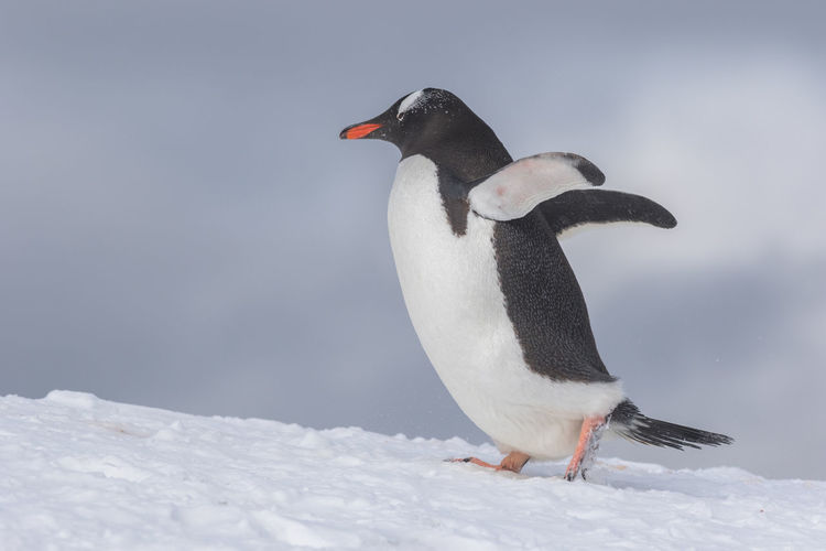View of two birds on snow
