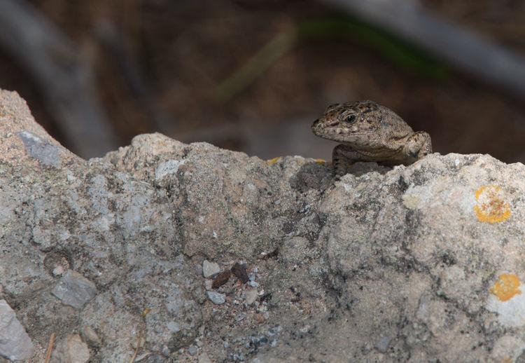 Podarcis lilfordi, lizard endemic to Dragonera island, nature reserve in Mallorca, Balearic islands, Spain. Dragone Lizard Mallorca Podarcis Lilfordi Reptile Animal Endemic Reptiles