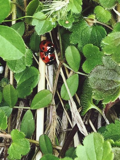 Leaf Green Color Insect One Animal Animals In The Wild Growth Plant Beauty In Nature Day Ladybug Red Outdoors Nature High Angle View No People Close-up Animal Themes
