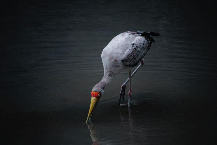 Bird foraging in lake