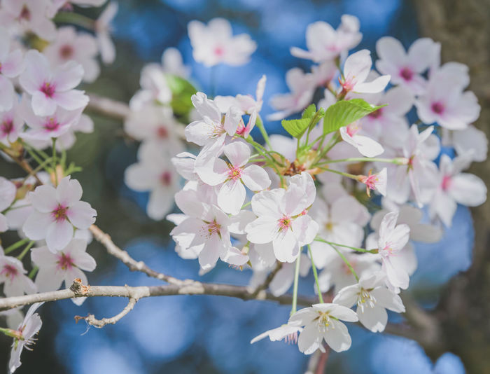 Beauty In Nature Blossom Branch Close-up Day Flower Flower Head Fragility Freshness Growth Nature No People Outdoors Petal Springtime Tree White Color
