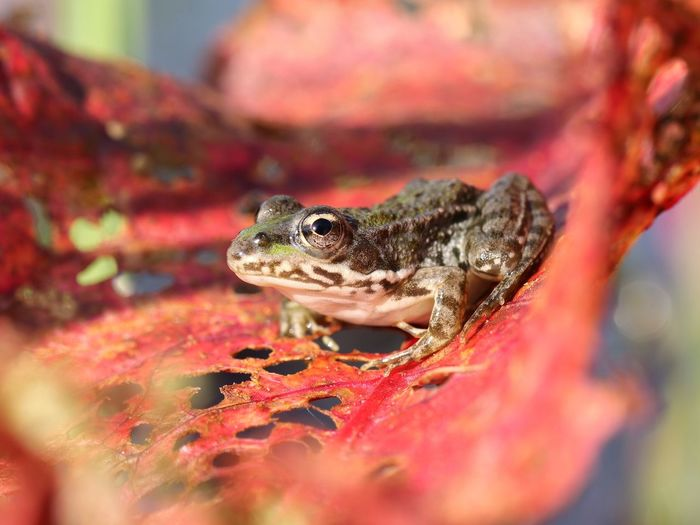 """""""Autumn Frog"""" https://www.facebook.com/mh.photography.de/ One Animal Animal Themes Amphibian Frosch Autumn Autumn Colors Red Nature Macro Makro Michael Hruschka Tiere Canonphotography Canon Animal Photography Amphibien Herbst Close-up Animals In The Wild Animal Wildlife Nature Frog Outdoors Day No People"""