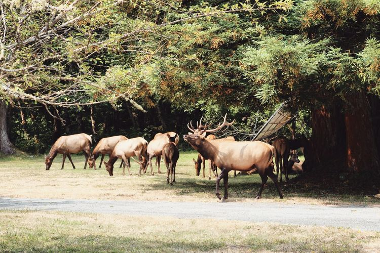 Roosevelt elk. Animal Themes Mammal No People Outdoors Grass Beauty In Nature Day Nature Pacific Northwest  Forest
