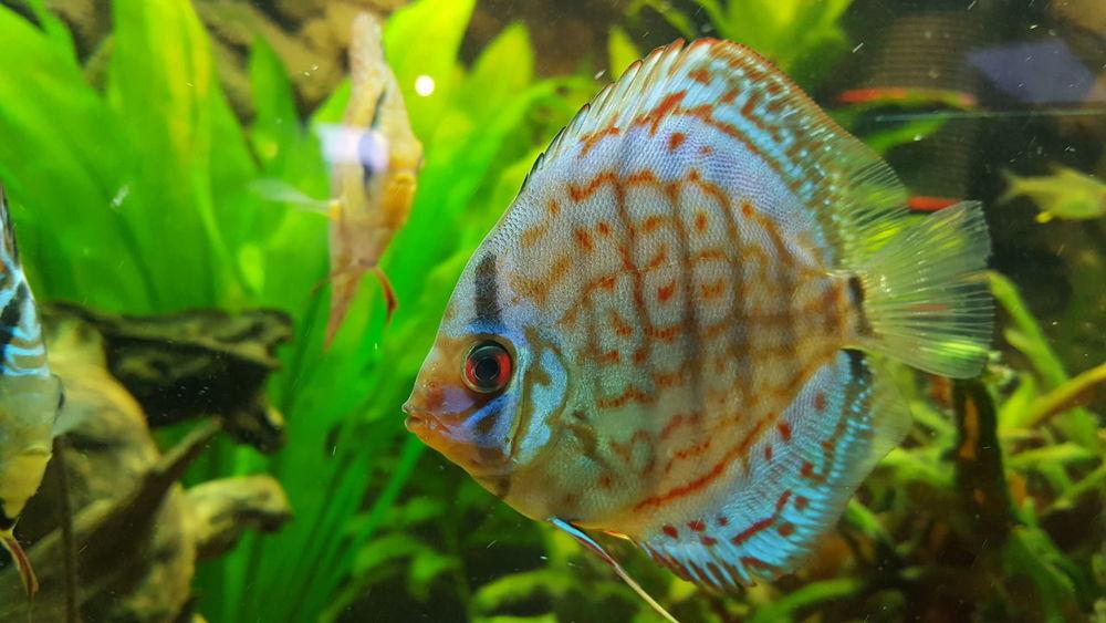 Fish Nature Animal Themes Water Underwater Indoors  Aquarium Aqua Aquariumfish Discusfish Blue