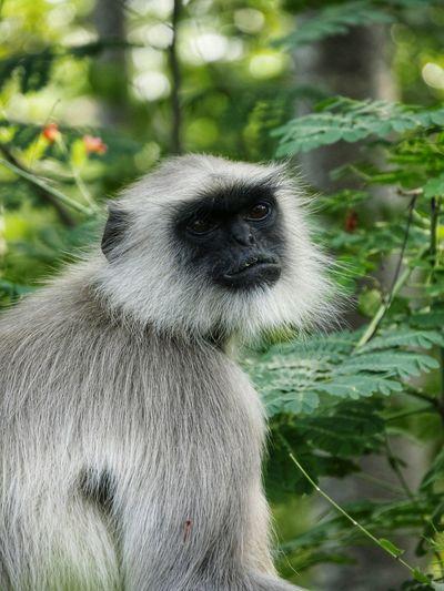 Temple Monkey