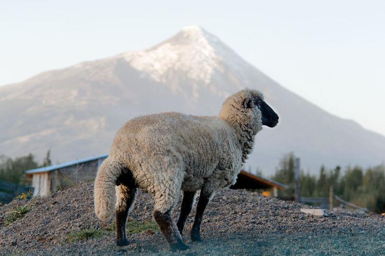 Sheep On Mountain Against Sky