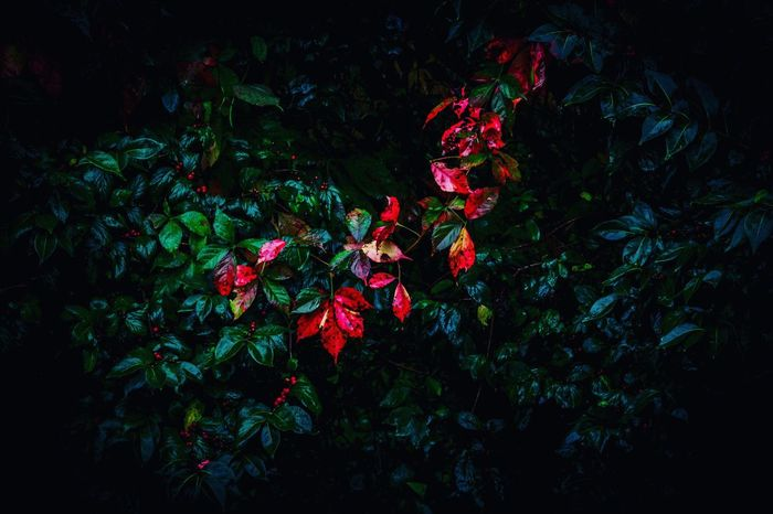 Flower Growth Fragility Freshness Red Leaf Plant Petal Rose - Flower Beauty In Nature Springtime In Bloom Nature Green Color Blooming Field Flower Head Dark Tranquility First Eyeem Photo