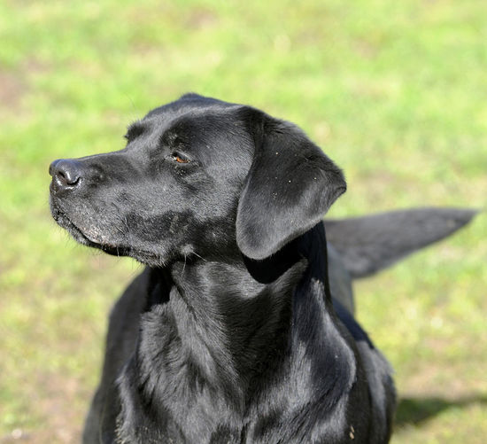 Black Labrador Close-up Dog Dog Photography Dog Photoshoot Dog Portrait Gundog Labrador No People One Animal Working Dog