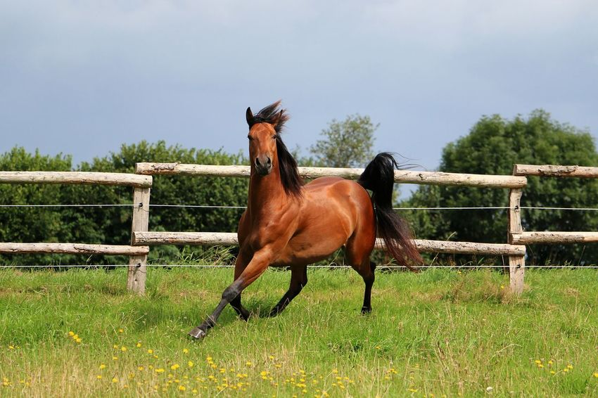 brown hors is running on a paddock in the sunshine Galopp Quarter Horse Active Animal Themes Brown Day Domestic Animals Field Grass Herbivorous Horse Livestock Mammal Nature No People One Animal Outdoors Paddock Quarter  Sky Summer Tree Trot Western