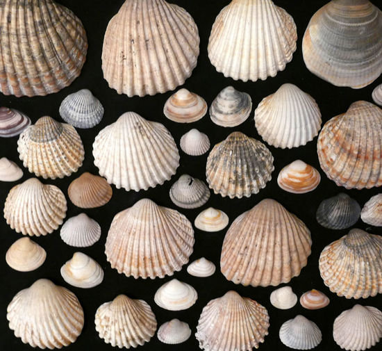 Full Frame Shot Of Seashells Arranged Against Black Background