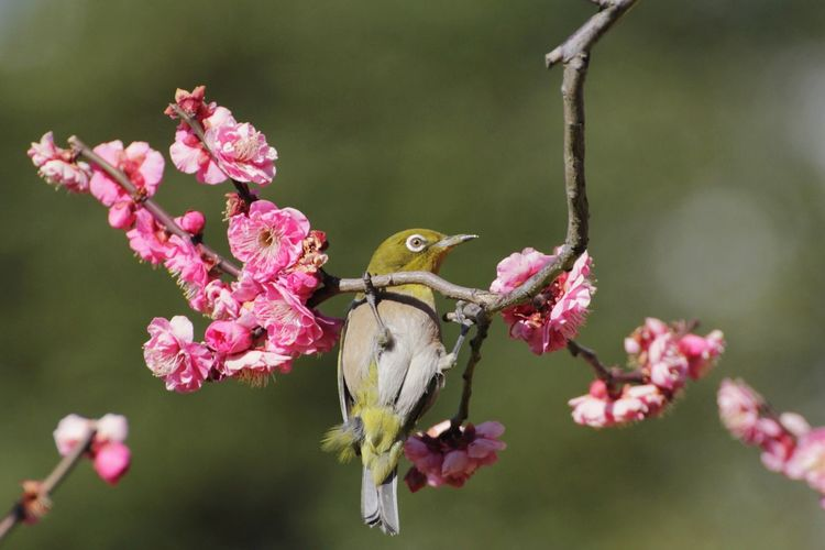 White‐eye Springtime Spring Animals In The Wild One Animal Plum Blossom Bird Animal Themes Animal Wildlife Petal Pink Color Flower Flower Head Blooming EyeEm Nature Lover Nature Close Up Close-up Beauty In Nature Popular Photos Taking Photos Tadaa Community Eye4photography  EyeEm Gallery EyeEm Best Shots