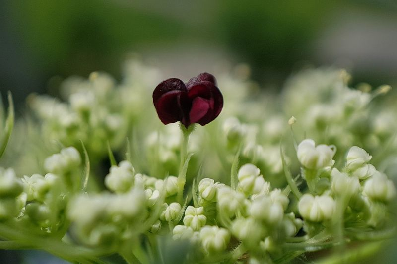 Wild Carrot Flower Head Flower Red Beauty Springtime Summer Poppy Uncultivated Front Or Back Yard Wildflower
