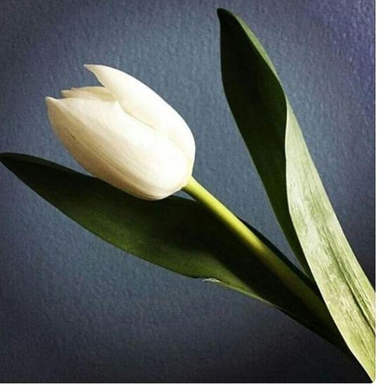 Lalenin muhtesem görüntüsü. Tulips Turquoise Colored Lale Zamani