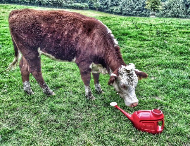 Cow & Watering Can Cow Watering Can Red Field Pivotal Ideas