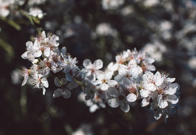 Flower Flowering Plant Plant Fragility Freshness Beauty In Nature Vulnerability  Growth Close-up White Color Nature Day Tree Blossom No People Focus On Foreground Springtime Selective Focus Branch Petal Flower Head Outdoors Cherry Blossom Cherry Tree Pollen