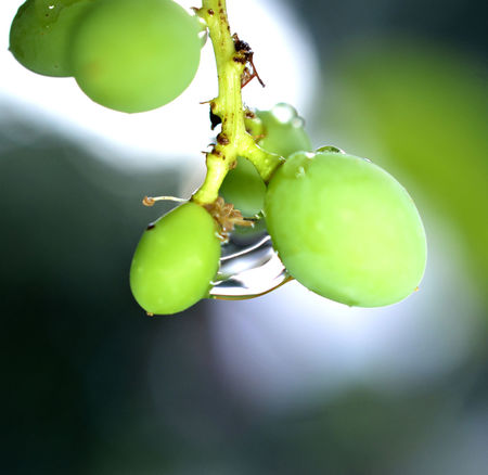 ripening grape after the rain Agriculture Green Rain RainDrop Beauty In Nature Bokeh Close-up Day Focus On Foreground Food Food And Drink Freshness Fruit Grape Green Color Growth Healthy Eating Leaf Nature No People Outdoors Plant Plant Part Rainy Day Ripening Fruit Ripening Grape Selective Focus Summer Vineyard