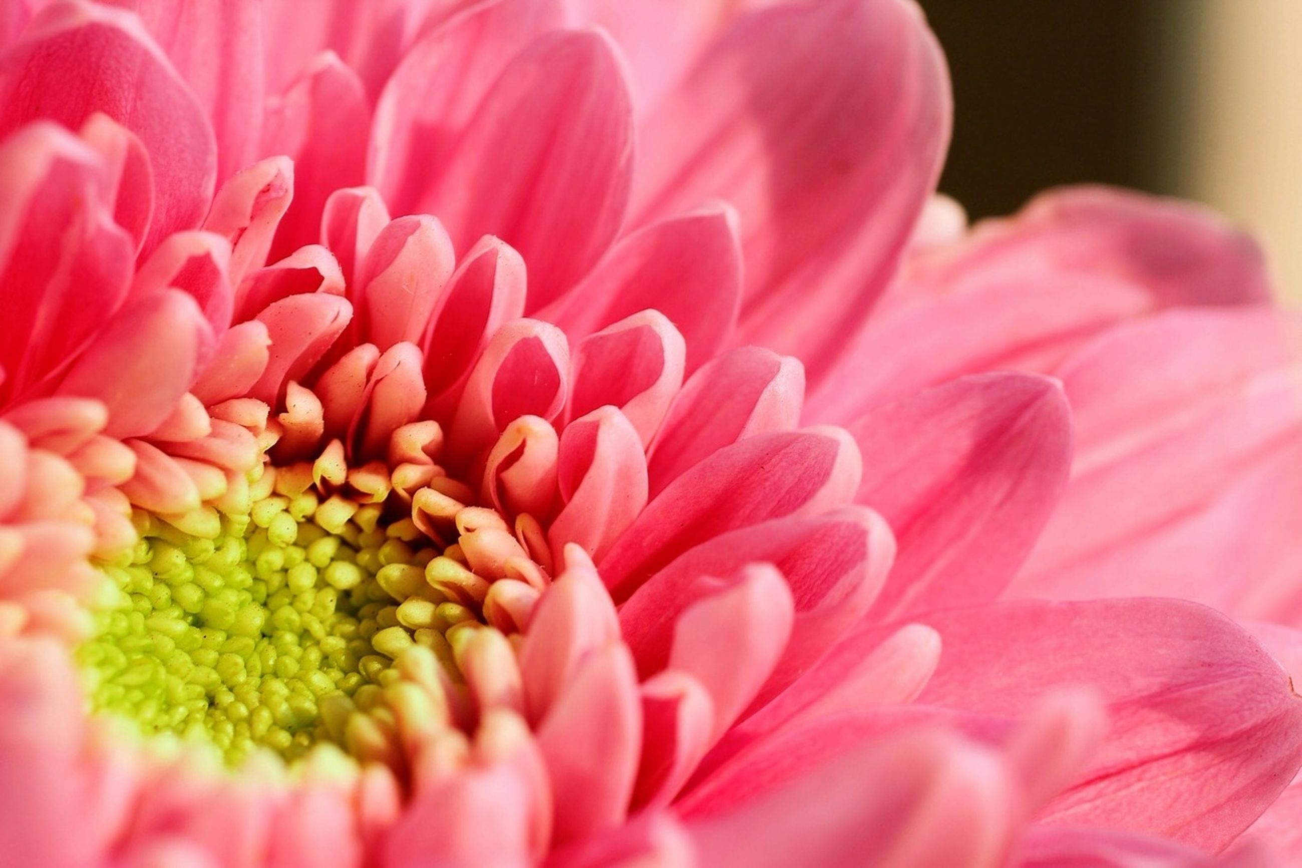 flower, petal, freshness, flower head, fragility, beauty in nature, growth, close-up, pink color, nature, pollen, single flower, blooming, selective focus, pink, red, plant, macro, stamen, in bloom