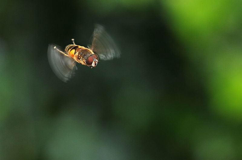 Macro Hoover Fly Insects  Insect Photography Insect Motion Motion Blur