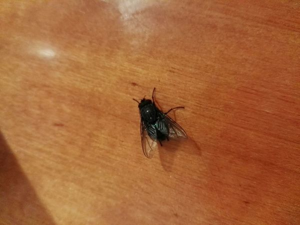 Fly Musca Brown Table