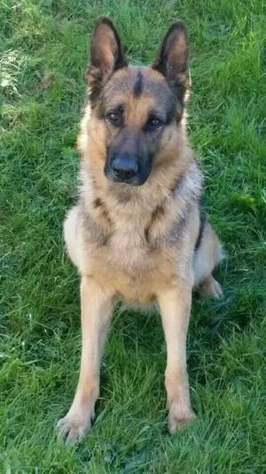 Bobby from Norway 💖 Germanshepherddog German Shepherd Germanshepherdlove Germanshepherd Ilovegermanshepherds I Love My Dog Hello World Family❤ Dog Bobby ❤ Doglover Enjoying Life Norwegian Norway 2015 Love My Dogs Are Cooler Than Your Kids Adopted MYheart Beautiful