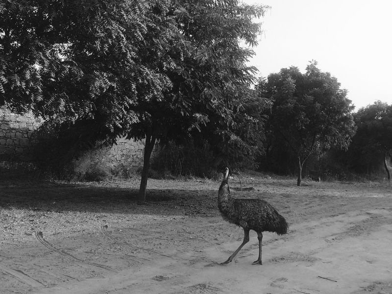 Animal Themes Animal Wildlife Animals In The Wild Beauty In Nature Bird Day Forest Growth Jaipur Nature No People One Animal Ostrich Ostrich Outdoors Tree