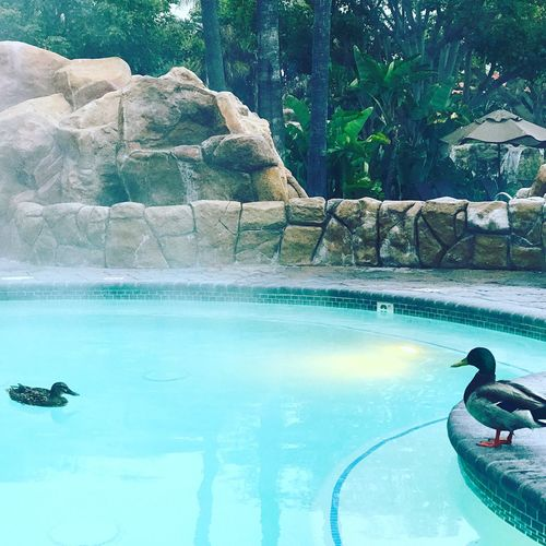 Spa Day Water Animal Themes Swimming Pool Animals In The Wild Swimming Nature One Animal Reflection Relaxation Pool Day Animal Wildlife Outdoors Bird Diving One Person Beauty In Nature Tree Mammal Duck Spa Treatment