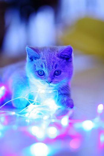 кот котэ котёнок Cat кошка британец брит британ игра Боке