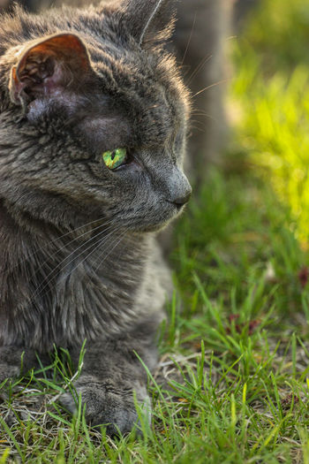 Animal Themes Close-up Day Domestic Animals Domestic Cat Feline Grass Mammal Nature No People One Animal Outdoors Pets Whisker