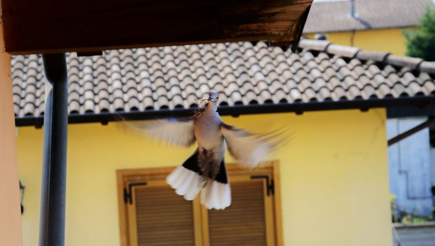 Tortora Animal Themes Animal Wildlife Animals In The Wild Architecture Bird Bird Feeder Blurred Motion Building Exterior Built Structure Close-up Day Flapping Flying Mid-air Motion Nature No People One Animal Outdoors Roof Spread Wings