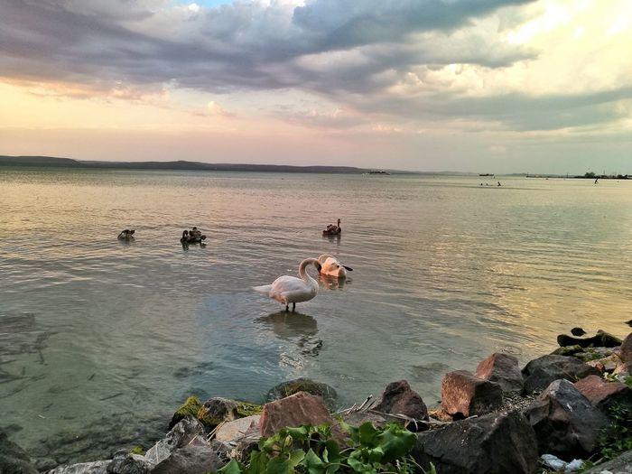 Swans ❤ on Balaton - Hungary Lake. Swan Swans Sunset Landscape Sky Nature Outdoors Water No People Swans On The Lake Swans Of Eyeem Swan Family Swan On Lake Balatonlelle Balaton Balaton Lake Balaton Hungary Balaton