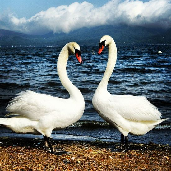 Heart Mark by 2 Swans Lake Yamanaka. Bird Heart Lake Japan Miracle Swan Yamanashi Yamanakako Heartmark