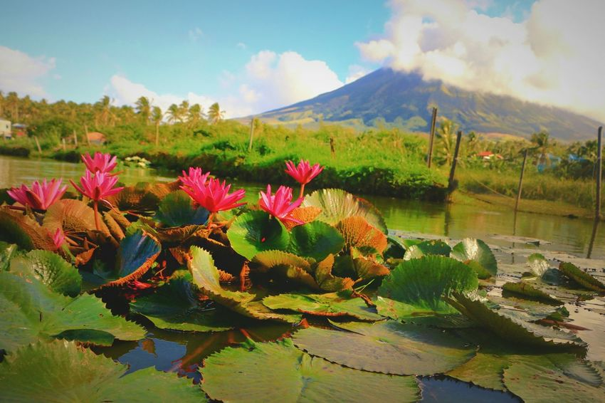 Mayon Volcano Daraga, Albay Philippines Lake View Flower Water Nature Plant Beauty In Nature Mountain Landscape Reflection Wildflower Uncultivated Leaf No People Scenics Sky Outdoors Day EyeEm Phillipines