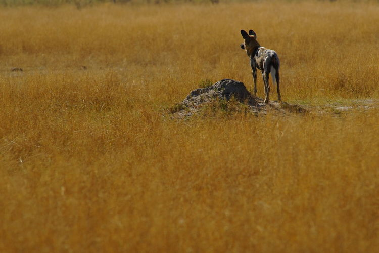 Rear View Of African Wild Dog Standing On Field
