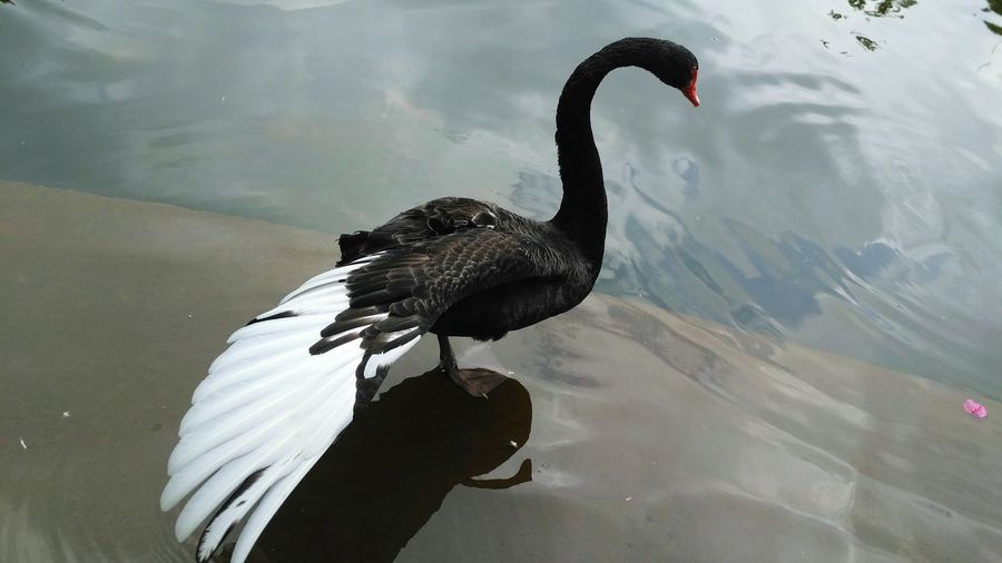 Perspectives On Nature Bird Animal Wildlife Animals In The Wild Lake Water One Animal Animal Themes Swimming Day No People Outdoors Black Swan Nature Swan Graceful Swan Graceful Black Swan Swan Dance