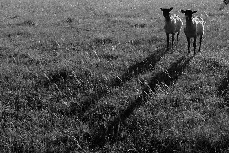 Sheep shadow Animals Beauty In Nature Blackandwhite Bnw Countryside Day Domestic Animals Field Gotland Grass Grassy Grazing Green Color Growth Landscape Light Livestock Mammal Nature Outdoors Pair Paris Rural Scene Shadow Sheep