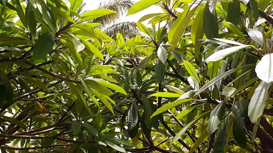 Plumerias Hawaii Green Botanical Shade Tree