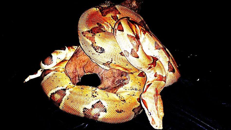 Boa Constrictor Snake Reptile Snake Scales