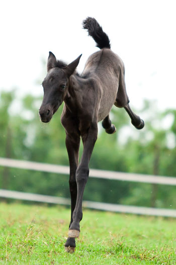 Dark Foal In Field Having Fun Jump P.R.E. Alive And Kicking Animal Animal Themes Day Domestic Animals Field Foal Frolicking Grass Horse Horse Baby Joy Jump For Joy! Kicking Land Motion No People On Fire One Animal Running #FREIHEITBERLIN