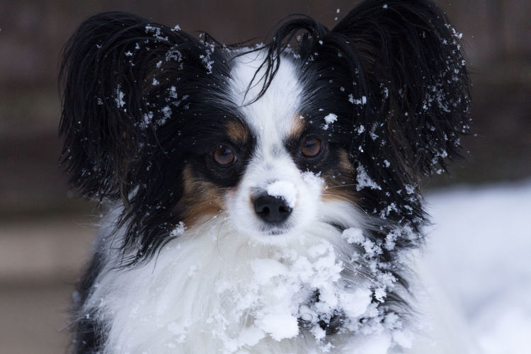 Kooper loves snow Dog Covered By Snow Dog In Snow Looking At Camera Animal In Snow Animal Themes Close-up Cold Cold Temperature Cold Winter ❄⛄ Cute Dog  Day Dog Dog Love Dog Snow Dogslife Dog❤ Domestic Animals No People One Animal Outdoors Papillon Pets Portrait Snow