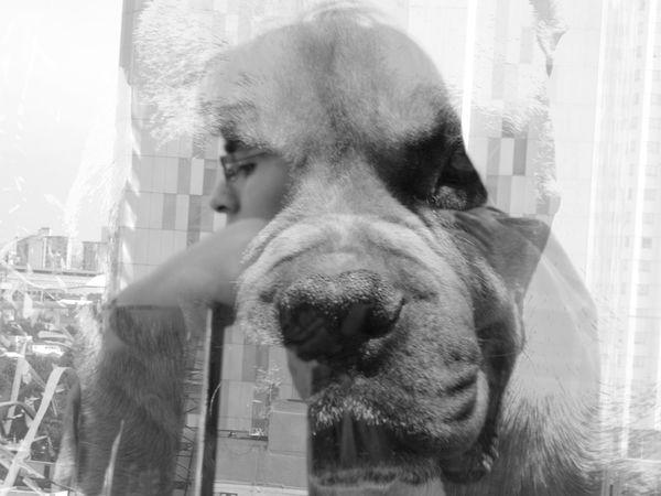 exposición múltiple City Looking Through Window Close-up Double Exposure Dog Boxer - Dog Canine Multiple Exposure