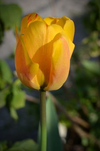 Tulipano Love Solar Yellow Red Flower Nature San Bartolomeo Paint The Town Yellow