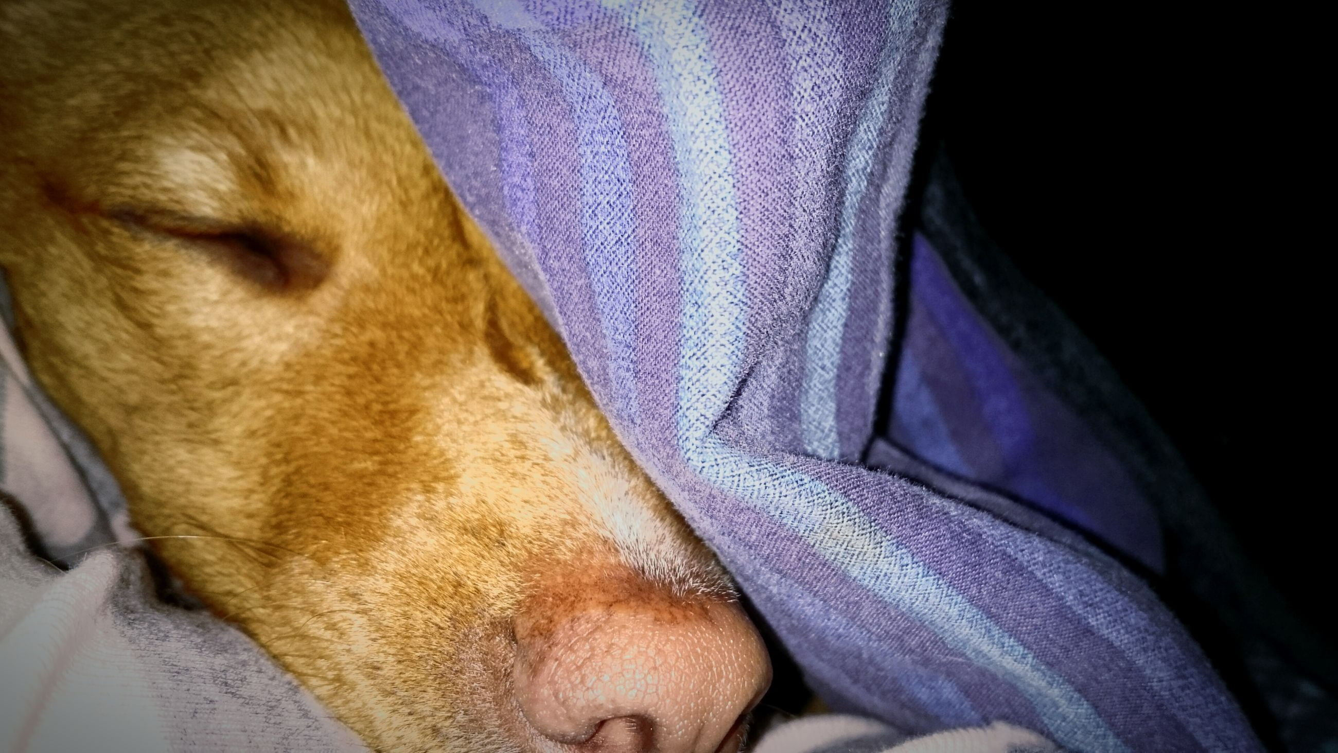 domestic animals, pets, indoors, one animal, animal themes, mammal, sleeping, dog, bed, relaxation, resting, lying down, close-up, eyes closed, blanket, animal head, home interior, comfortable