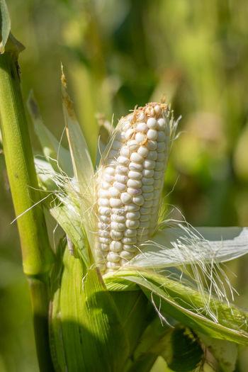 Close-up of corn on plant