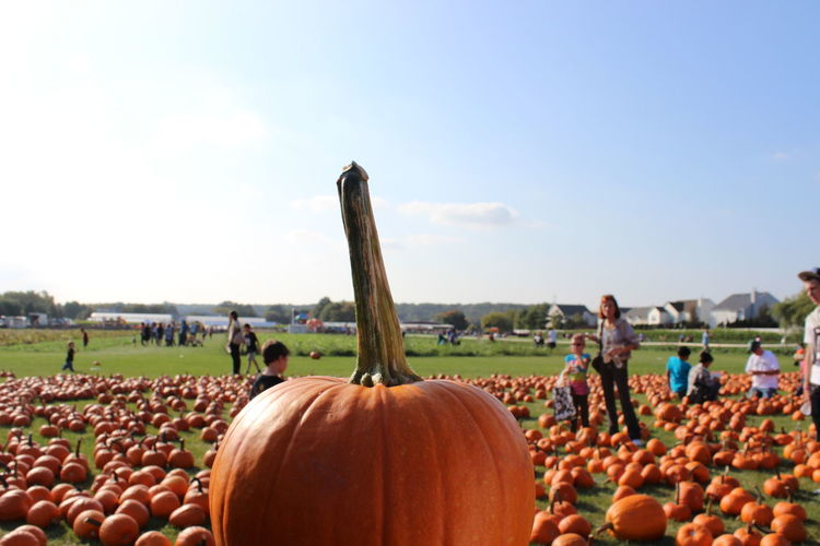 Pumpkin Patch Abundance Day Large Group Of Objects Nature Ocean October Orange Color Outdoors People Pumpkin Pumpkin Patch Pumpkin Patch, Sky Vegetable Focus Object Beautifully Organized
